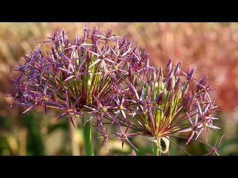 flower bulbs Allium.avi