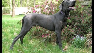 Great Dane House Training - Free Mini Course