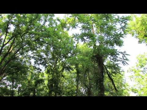 American Redstart song (Fair Hill NRMA)
