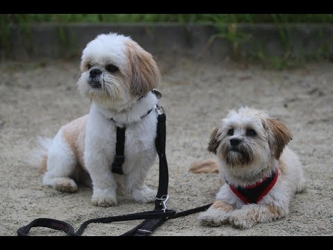 Luffy & Mica - Shih Tzu and Mixed Breed - 2 Weeks Residential Dog Training