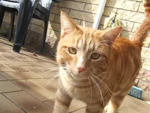 American Shorthair Orange | Set Of Cat Breed Pictures
