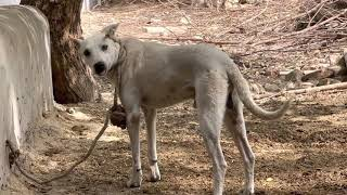 Dog and goat meeting and rescue both animals