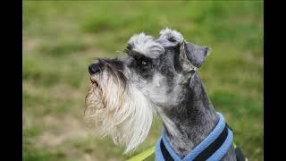 Miniature schnauzer Ralph and parson russell terrier Darla Kelluki Easter agility show 2021