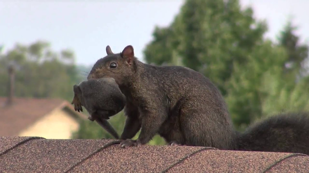 Squirrel Mom Amazing Jump With Baby In Mouth Youtube