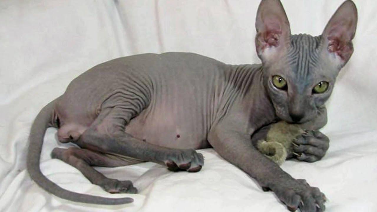 Jumaane Sdyron Don Sphynx Cats Bezsrst 233 Mačky Sf001
