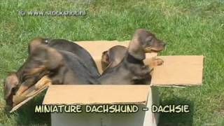 Miniature Dachshund - Dwerg Dashond - Dachsie