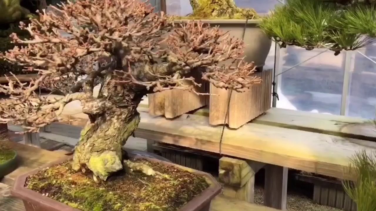 Il Museo Taikan Del Maestro Shinji Suzuki Leleganza Dei Bonsai