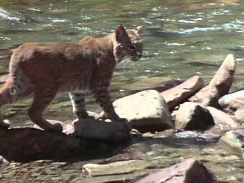 Wild America Specials: The Predators