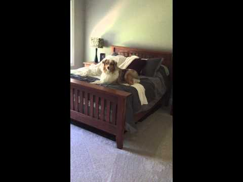Dog Busted Jumping on Bed