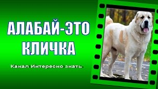 Среднеазиатская овчарка.Алабай это кличка или порода?Alabai is a nickname or breed ?