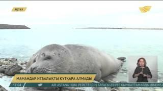 Каспий жағалауынан табылған итбалықты мамандар құтқара алмады