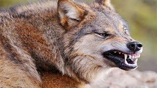 По следам Волка - людоеда. Жертвы волков