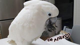 앵무새 나나공주님의 밥풀 먹방/간만의 근황