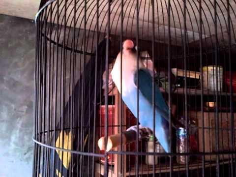 lovebird biru narik panjang