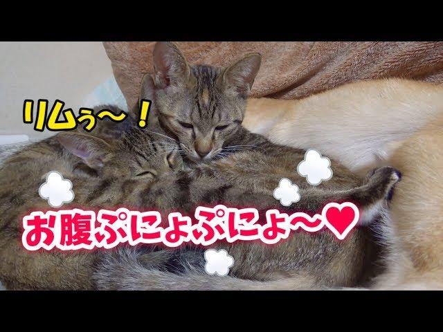 この冬最高の柴犬湯たんぽ🐾集まれ子猫たち!-The best warmth of the Shiba Inu and a kitten on a cold winter-