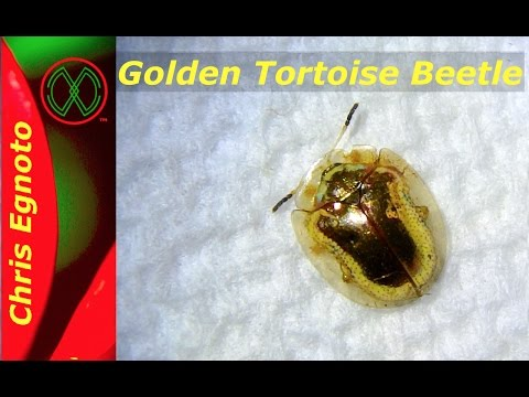 Golden Tortoise Beetle - A walking Jewel