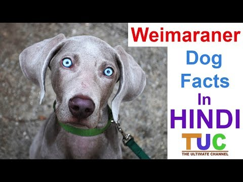 Weimaraner Facts In Hindi | Popular Dogs | Dogs And Facts | The Ultimate Channel