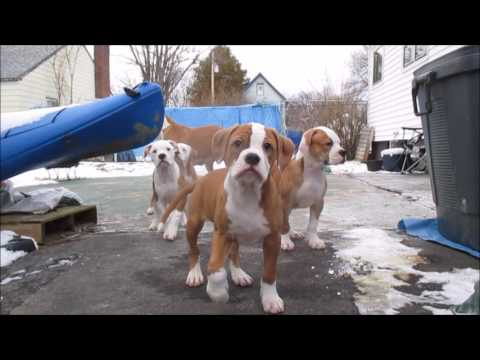 American Bulldogs puppies cny