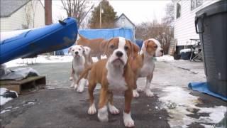 American Bulldogs puppies cny