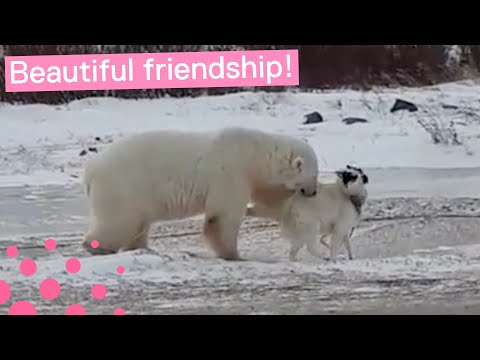 POLAR BEAR AND DOG ARE BEST FRIENDS
