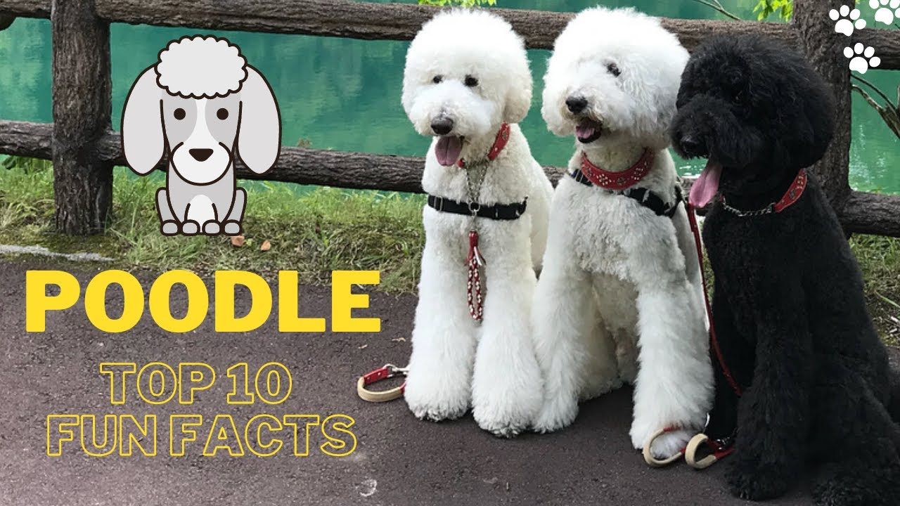Poodle Dog Top 10 Fun Facts Standard Poodle Miniature Poodle Poodle Toy Youtube