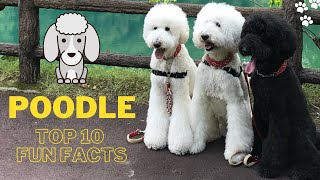 Poodle Dog Top 10 Fun Facts | Standard Poodle | Miniature Poodle | Poodle Toy