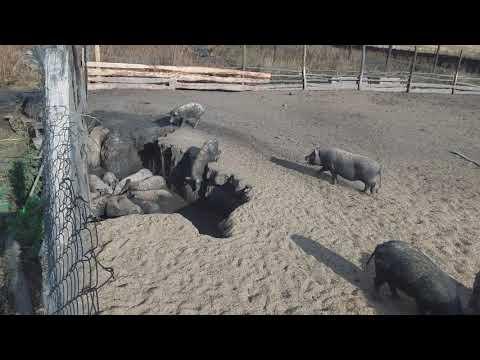 Свиньи на мясо без химии 50-60кг Украина Харьков 0675736455