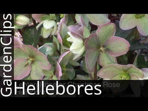 Lenten Rose or Christmas Rose - Hellebore - How to Grow Hellebores