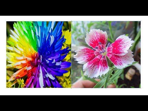Что выросло из Китайских семян. Радужная хризантема