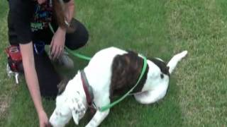 Rspca Qld Wacol- Adopt A Pet - Hakeen