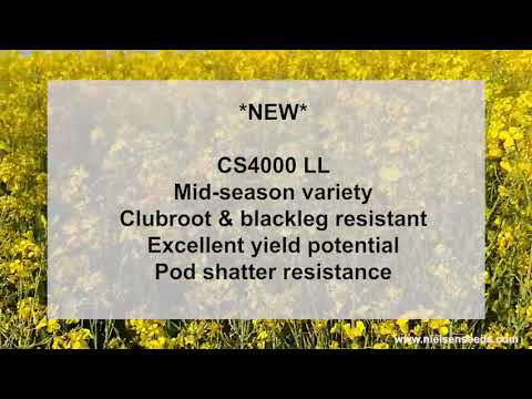 Nielsen Seeds is very excited to be able to offer this new liberty link variety!
