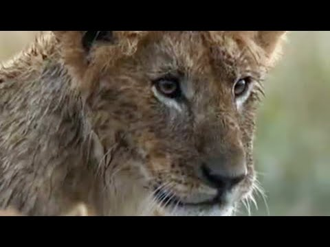 The Cubs Play in the Rain - Little Big Cat - BBC