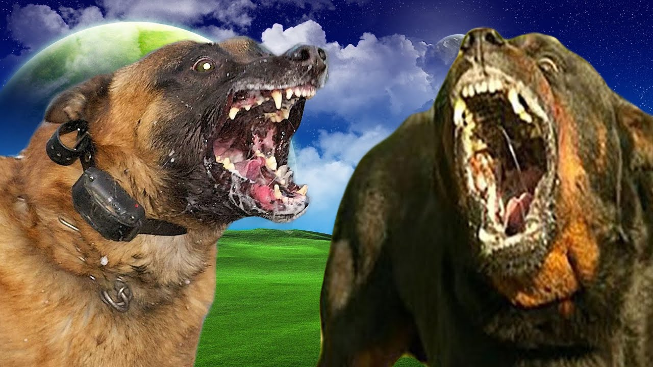Belgian Malinois Vs Rottweiler Highlights