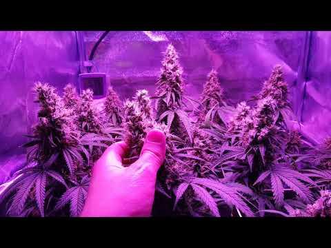 Migro 200 Vs Blackdog Phytomax 2 200 Flower Day 49*