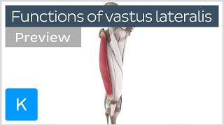 Functions of the vastus lateralis muscle (preview) - Human 3D Anatomy  Kenhub