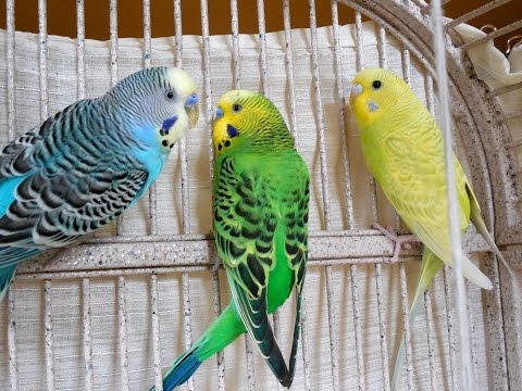 1 Hour Relaxing Videos, Parakeets Budgies Chirping, Talking, Kissing. Sounds of Nature. Bird Sounds