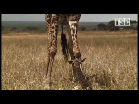 Battle at Kruger: Mother Love! (Giraffe vs Hyena) thumbnail