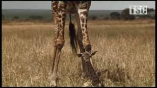 Battle at Kruger: Mother Love! (Giraffe vs Hyena)