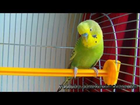 Попугай Кеша болтает о своём – Keshacheresha
