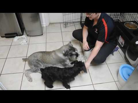 Standard Schnauzer Puppy (Delmy) - learning 'Down' command