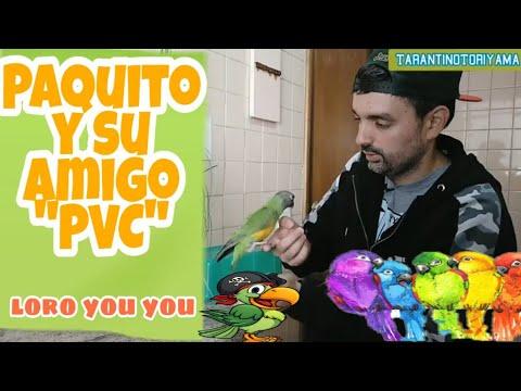 Loro You You Paquito Y Su Amigo De Plástico || Lorito De Senegal