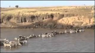 Wildebeest migration crossing the Mara River - Kevin Twiddy