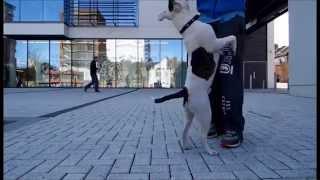 Ziggy Trixx - Staffy Trick Dog - Showreel (april 2014)