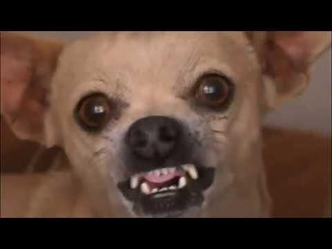 Как назвать щенка мальчика чихуахуа