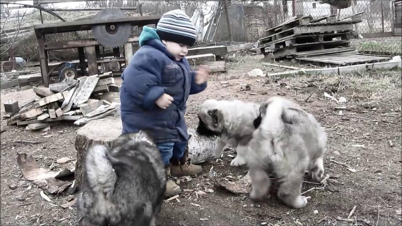 Собаки и щенки породы кавказская овчарка. На доске объявлений olx беларусь легко и быстро можно купить щенка кавказской овчарки. Заведи друга прямо сейчас!
