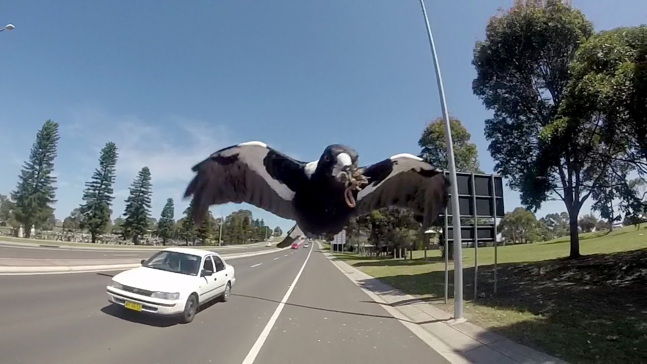 ISA Student BlogMelbourne, Australia: Beware of the Magpies  |Australia Swooping Birds Sign