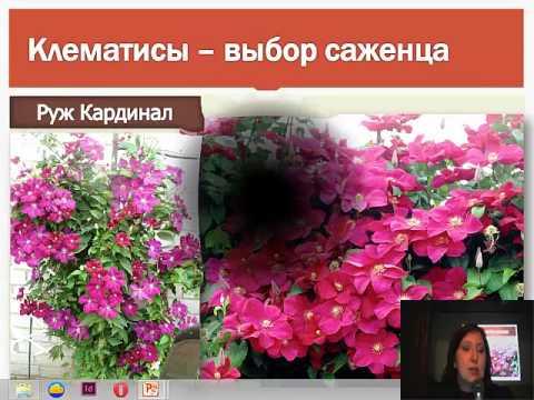 Клематисы, плетистые розы 2015