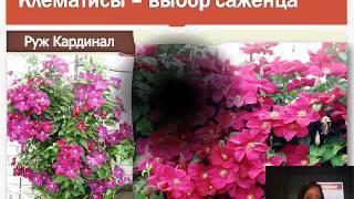 видео Плетистые розы в вертикальном озеленении.