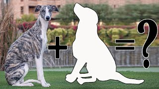 9 Unreal Whippet Mixes / Whippet Cross Breeds Dog