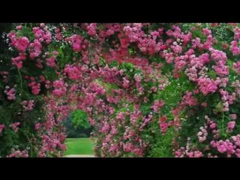 Rose Garden Set Complete With 2 Climbing Rose With